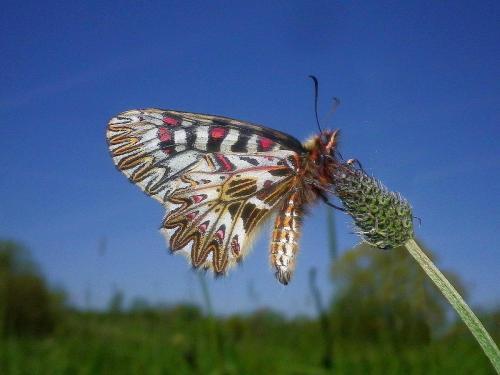 Uskršnji leptir (1)+